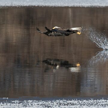 Bald Eagle 2018-13 by Thomasyoung