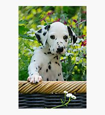 Hey, I`m a Dalmatian puppy Photographic Print