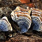 Pretty Turkey Tail Fungi  by lorilee