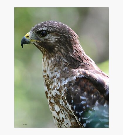 Red Shouldered Hawk Photographic Print