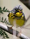 canada warbler by Dennis Cheeseman