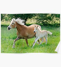 Haflinger mare with foal running  Poster