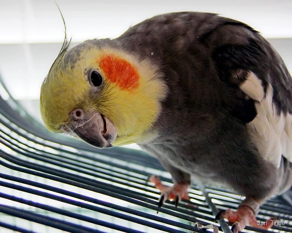"Popcorn ""Pretty Bird"" by Jan  Tribe"