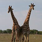 Contest of giraffes by christopher363