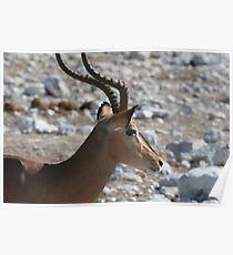Impala (Aepyceros melampus) portrait Poster