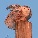 Frazzled Snowy Owl 1 of 2 by DigitallyStill