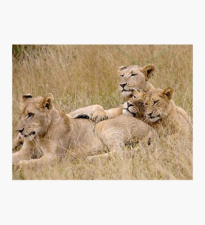 Lion Pride Reunion Photographic Print