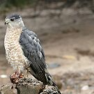 Young Peregrine Falcon by © Loree McComb