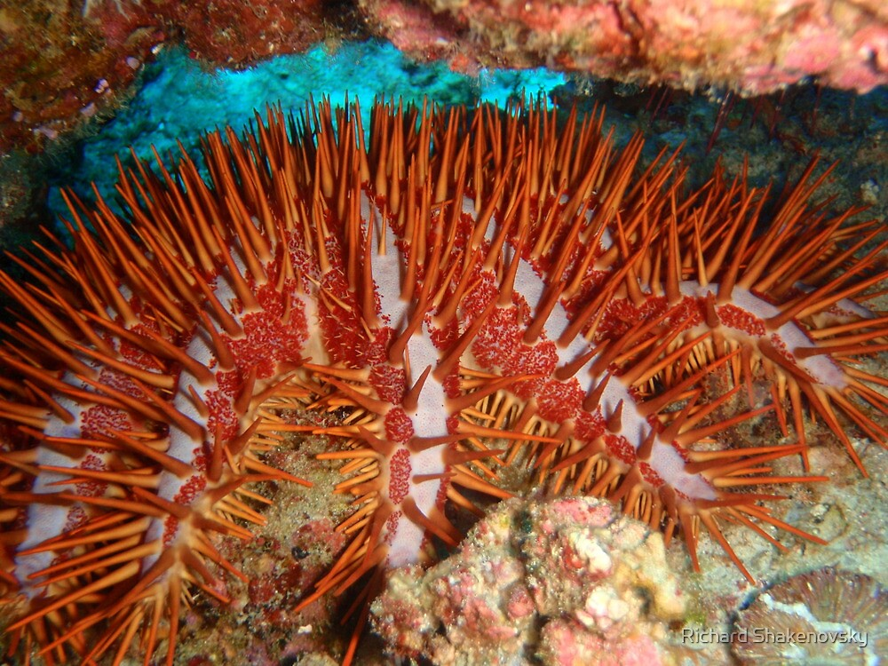 Crown of Thorn Starfish by Richard Shakenovsky