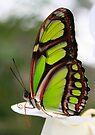 Siproeta stelenes - Malachite Butterfly by Lepidoptera