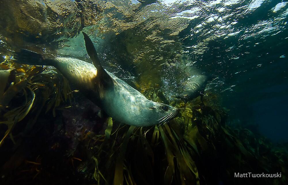 Fur Seals by MattTworkowski