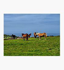 Alderney Horses Photographic Print