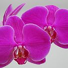 Orchid (Phalaenopsis) by CjbPhotography