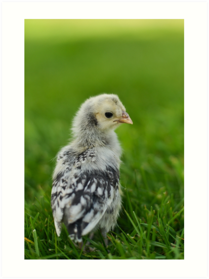 Baby Chick Appenzeller Spitzhauben Silver Spangled Art Print By The Accidental Farmers