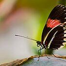 Butterfly resting by Ray Clarke