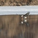 Bald Eagle 2018-16 by Thomas Young