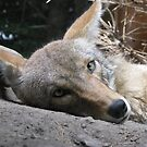 Lonesome Coyote by shutterbug2010