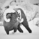 Bighorn Ram von aldenofwapiti