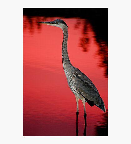Blue Heron at Sunset Photographic Print