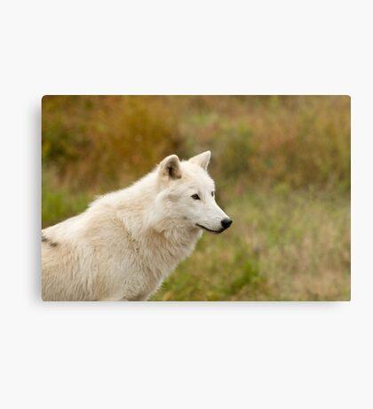 Arctic Wolf Close up  Metal Print