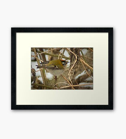 Little Firecrest - golden shot Framed Print