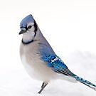 Blue Jay on Snow  by Daniel  Parent