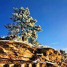 Snow-frosted Pine by James Larson