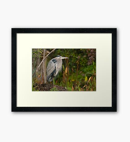 Blue Heron at Rest Framed Print