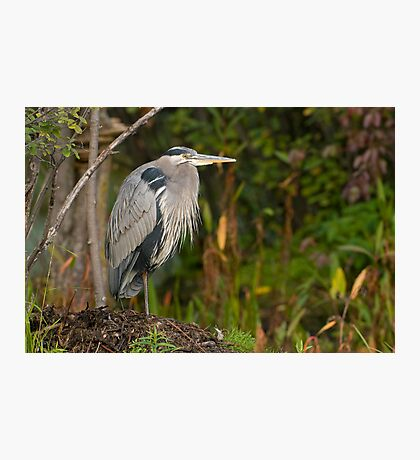 Blue Heron at Rest Photographic Print