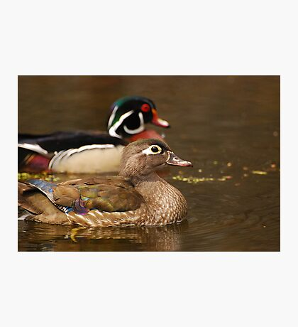 Wood Duck Courtship Photographic Print