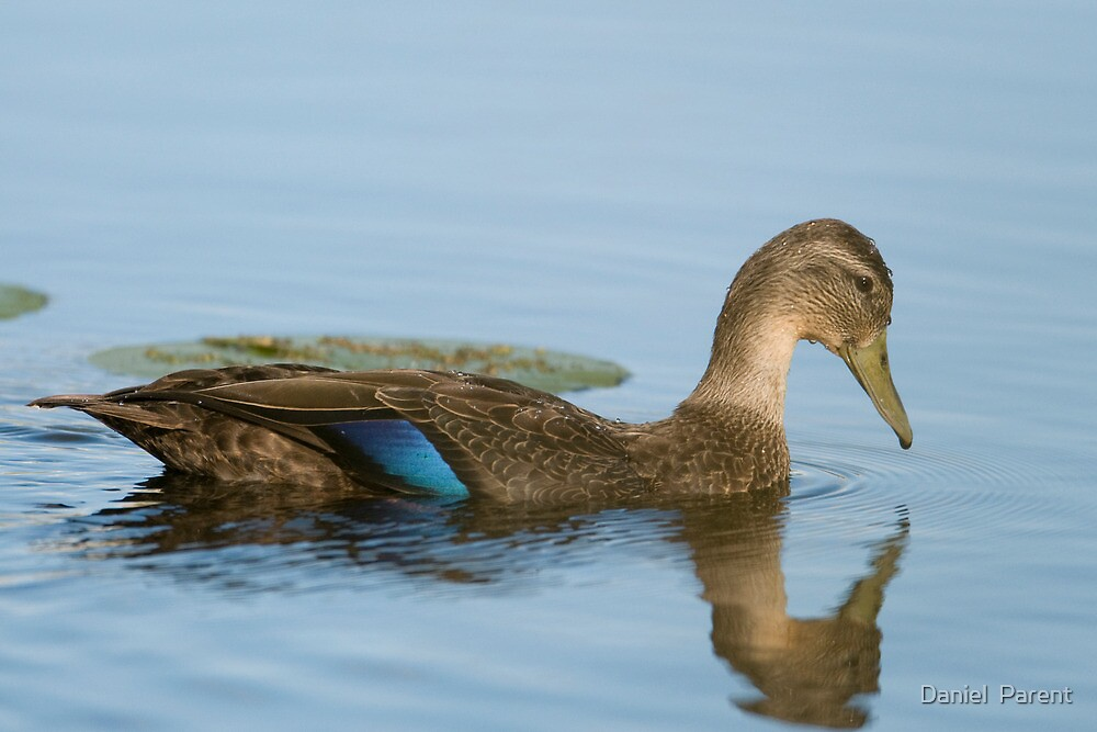 Blue-winged Teal Duck  by Daniel  Parent