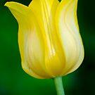 Yellow Tulip  by Daniel  Parent