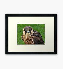 Falcon Eyes Framed Print