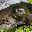 Galapagos Tortoise up Close by Richard Shakenovsky