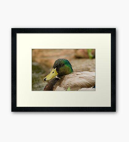Wet Mallard Framed Print