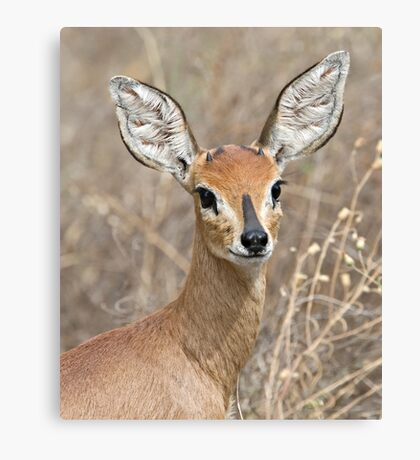 Young Male Steenbok - Up Close Canvas Print