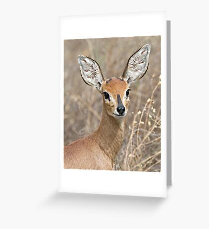 Young Male Steenbok - Up Close Greeting Card