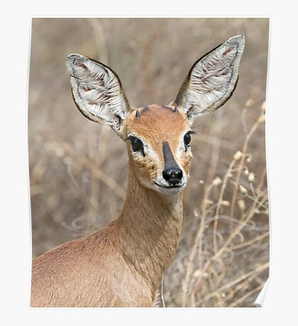 Young Male Steenbok - Up Close Poster