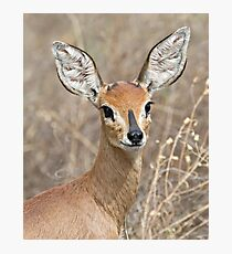 Young Male Steenbok - Up Close Photographic Print