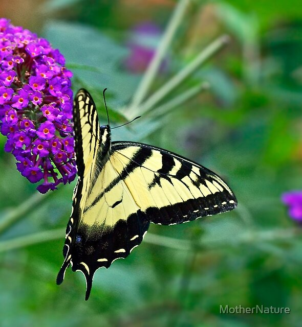 Tiger Swallowtail Butterfly - Papilio glaucus by MotherNature