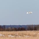 Snowy Owl 2018-24 by Thomas Young