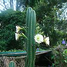 cactus by judithtaylor