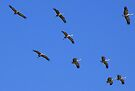 Sandhill Cranes by Kimberly Chadwick