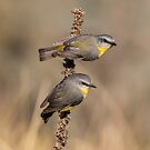 Eastern Yellow Robins by Kym Bradley