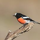 Male Scarlet Robin by Kym Bradley