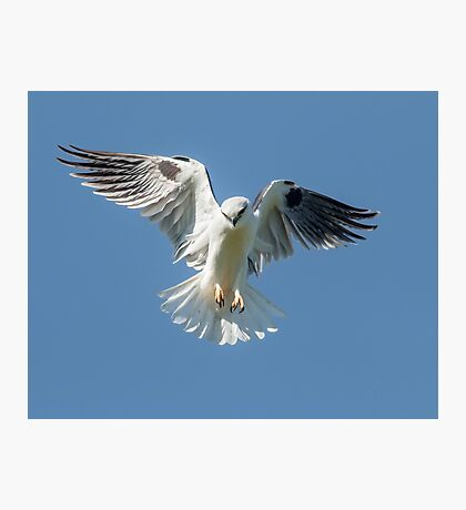 Black Shouldered Kite Photographic Print