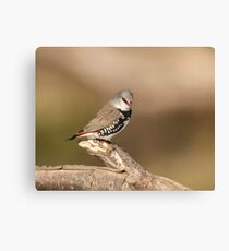 fire tail finch Canvas Print