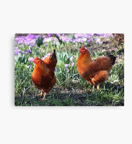 Happy Chickens Canvas Print