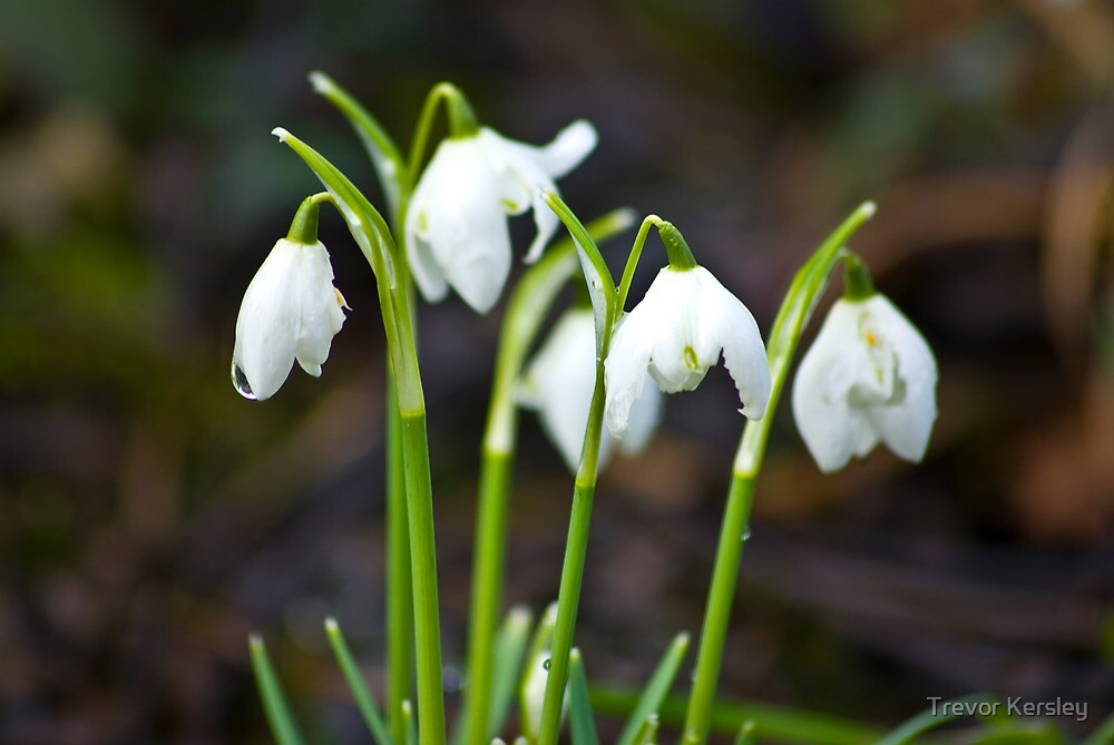 The Beauty of Snowdrops by Trevor Kersley