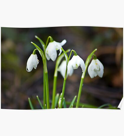 The Beauty of Snowdrops Poster